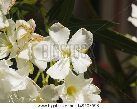 White flowers of Nerium Oleander on shrub macro selective focus shallow DOF