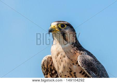 Kestrel Falcon On Blue Background