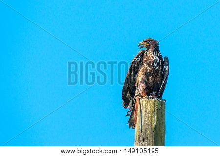 Haliaeetus Albicilla Eagle Sitiing On A Wooden Post
