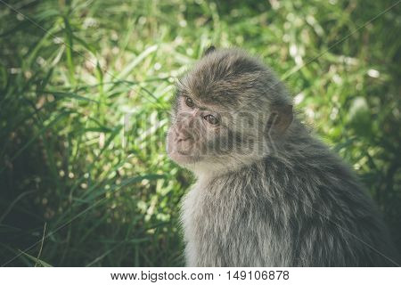 Macaca Monkey In Green Grass