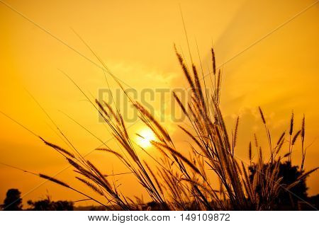 Silhouette of grasses field on the sunset.