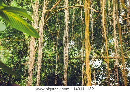 Lianas In A Jungle With Tropical Vegetation