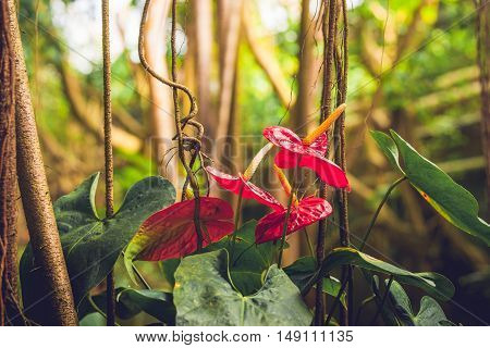 Anthurium Flowers In A Rainforest