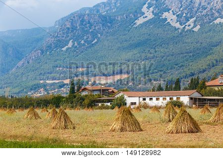 Field With Drying Sesame Marmaris