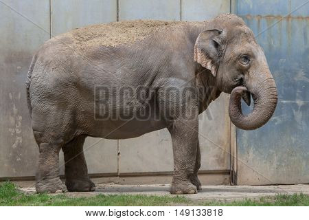 Indian elephant (Elephas maximus indicus). Wildlife animal.