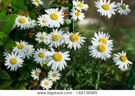 Ox-eye daisy flowers in the garden in Poland on September.