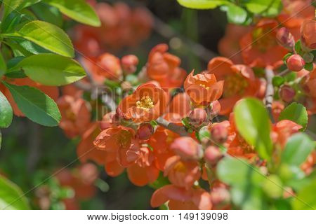 Many red flowers of Chaenomeles japonica close-up in a spring garden in the early morning
