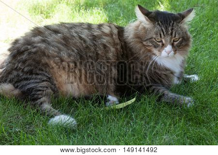 Big longhair cat sitting in the grass.