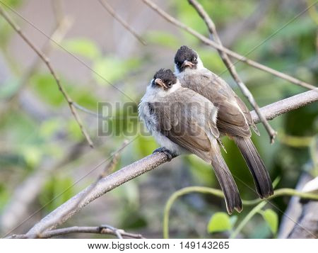 Image of two birds perched on the branch in the wild. Sooty headed bulbul.