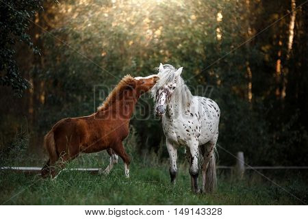 White horse and her little foal walk on the paddock in summer in the field outdoors