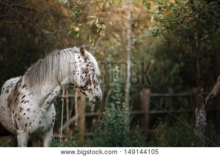 White spotted horse portrait walk on the paddock in summer
