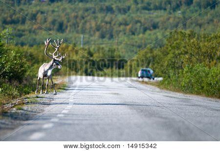 Reindeer wants to cross a road