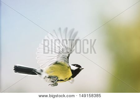 beautiful bird chickadee flutters on a Sunny day