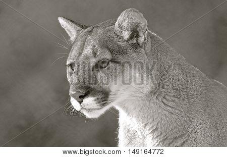 Curious cougar stares at lies ahead, beautiful cat.