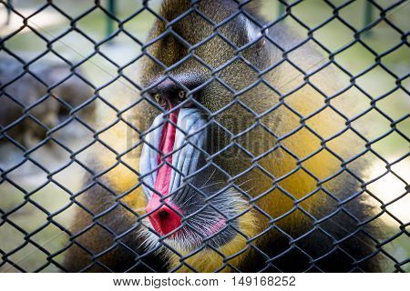 Mandrill Baboon monkey colorful face behind a cage