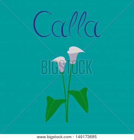 flat illustration on stylish background flower calla