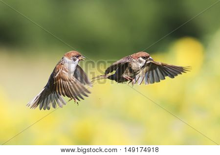 a couple of little birds, sparrows flitting in the air in the garden during summer