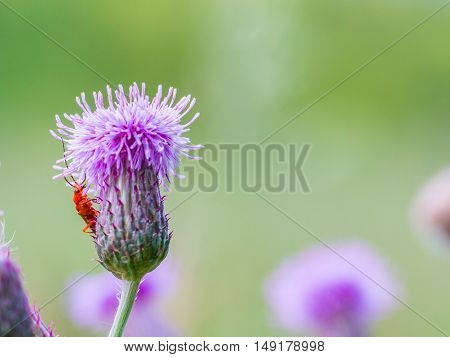 Red soldier beetle on a blooming thistle