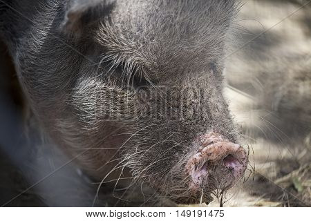 Close up of a pot-bellied pig resting in shade.
