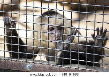 A young Capuchin monkey finds comfort sucking one of his toes at a rescue zoo.