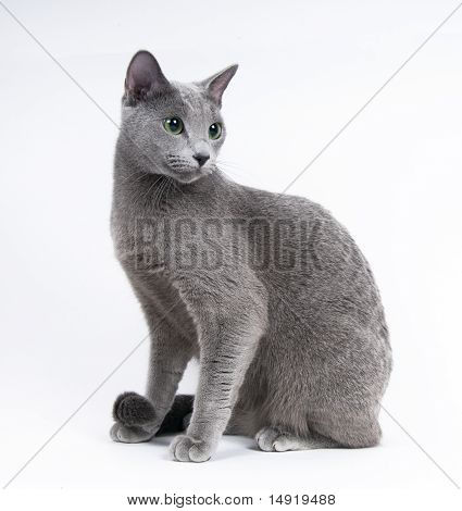 grace cat on the gray background