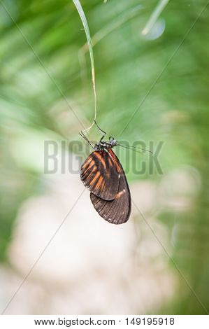 Heliconius Ismenius Butterfly On Green Leaf