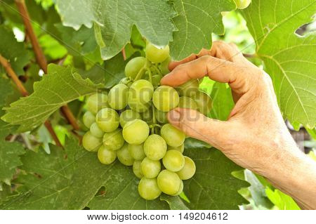 White grapes in wine yard quality control