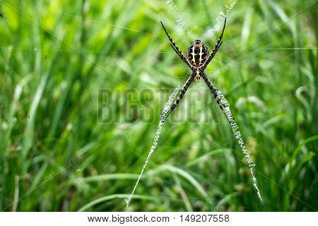 Spider on a web - scientific name Argiope versicolor spider of Borneo.