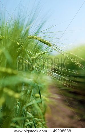 Green wheat filed in spring. Agricultural concept.