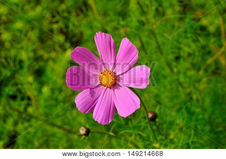 Closeup of pink cosmos flower - in Latin Cosmos Bipinnatus. Summer floral background of cosmos flower under sunlight. Selective focus at the flower. Summer floral landscape