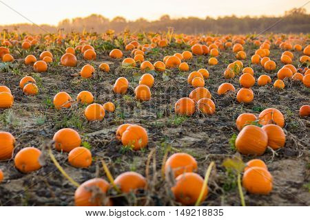 Beautiful pumpkin field in Germany Europe. Halloween pumpkins on farm. Pumpkin patch on a sunny autumn morning during Thanksgiving time. Organic vegetable farming. Harvest season in October. poster