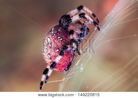 This spider is commonly called the European garden spider, diadem spider, cross spider, or crowned orb weaver.