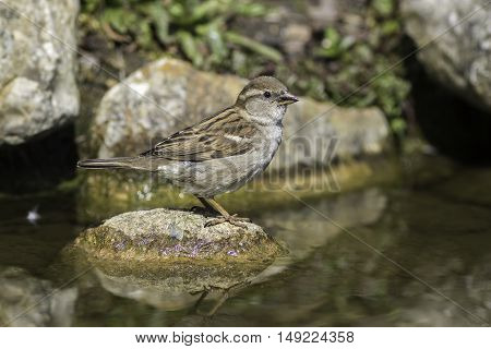 Female house sparrow (Passer domesticus) standing on a rock in a stream.