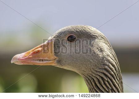 Profile of Greylag goose (Anser anser) head.