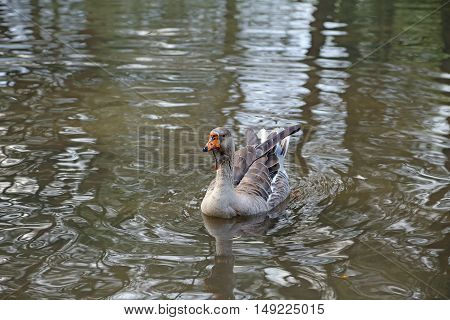 Elegant brown and white Chinese goose in Italy