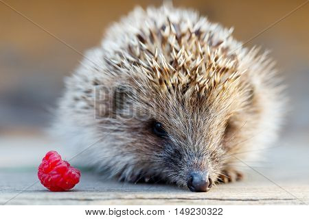 A young hedgehog with a raspberry on a wooden floor.
