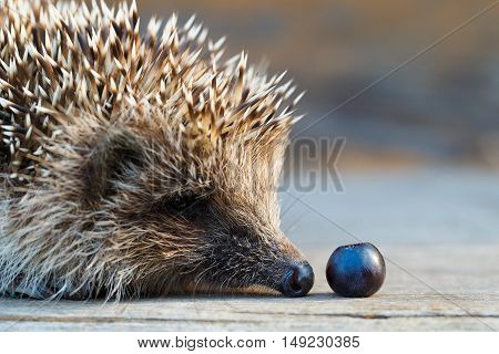 A young hedgehog with blueberries on a wooden floor.
