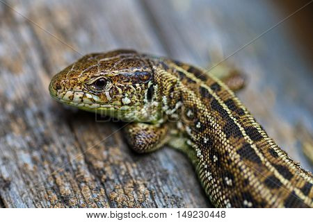 The brown viviparous lizard Lacerta agilis. Macro photo.