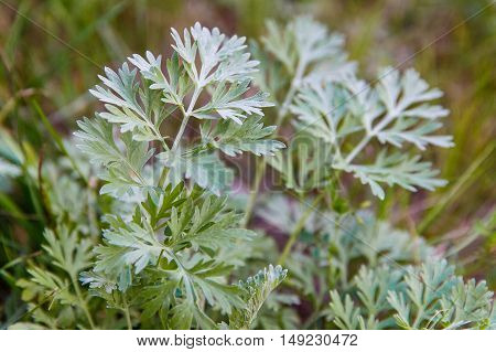 Artemisia absinthium (absinthium absinthe wormwood wormwood common wormwood green ginger or grand wormwood)