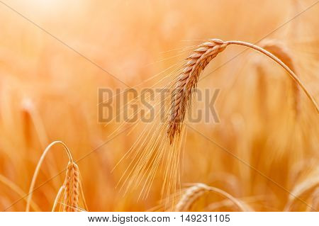 Golden wheat ears or rye close-up. A fresh crop of rye. Field of wheat under shining sunlight. Stem with seed for cereal bread. Agriculture harvest growth.