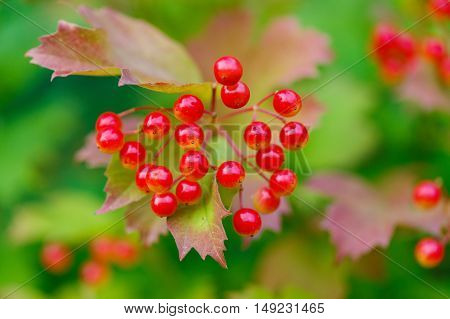 Closeup of bunches of red berries of a Guelder rose or Viburnum. Shrub on a sunny day at the end of the summer season.