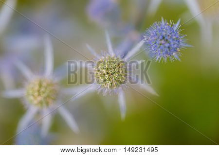 Closeup of a round prickle blue thistle flower