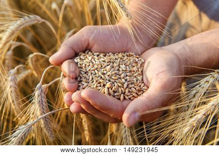 The hands of a farmer close-up holding a handful of wheat grains in a wheat field.