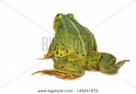 Rana esculenta. Green European or water, frog on white background.
