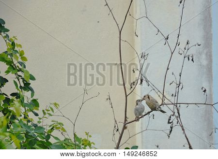 sparrow mother take care her baby by preening on head