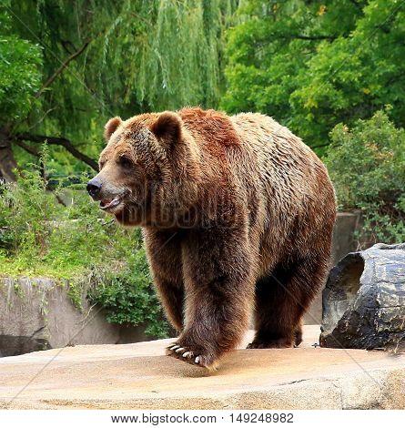 North American Brown Bear walking on rocky ledge