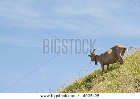 Brown Goat On Rigi Mountain, Switzerland