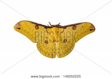 Isolated Golden Emperor Moth ( Loepa sikkima )