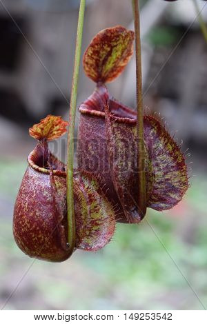 two beautiful pitcher of carnivorous plant Nepenthes