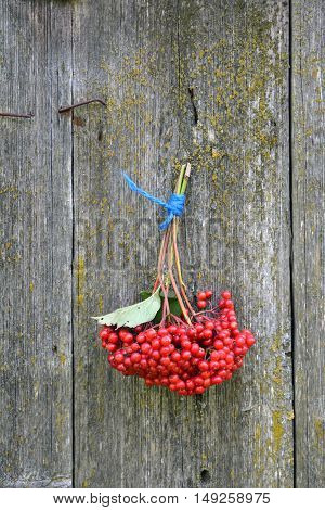 Bunch of guelder rose viburnum berries hanging on gray wall